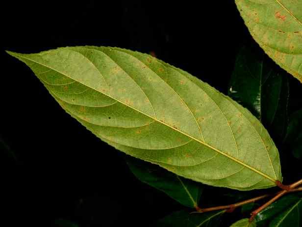 07 Sepilok Ficus stolonifera - 13.jpg