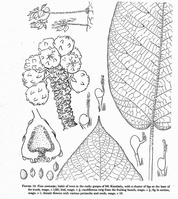 Corner (1978) Cereicarpa illustration.jpg