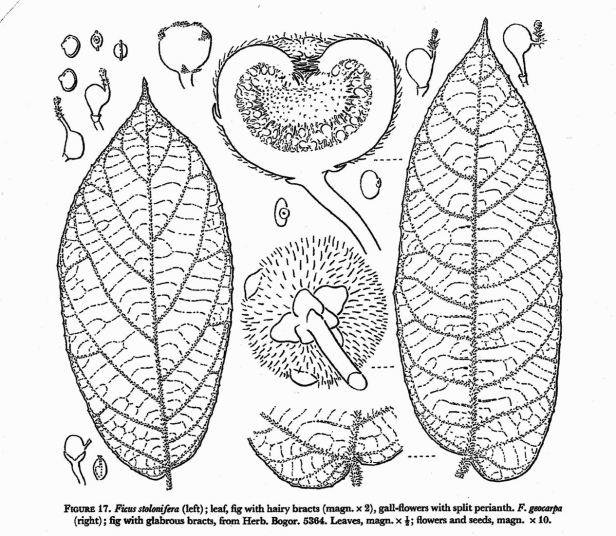 Corner (1978)  stolonifera and F.geocarpa  ENHANCED.jpg