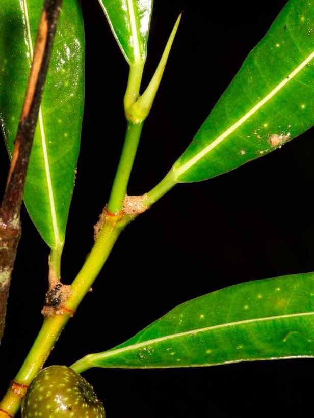 Ficus ixoroides - 12.jpg