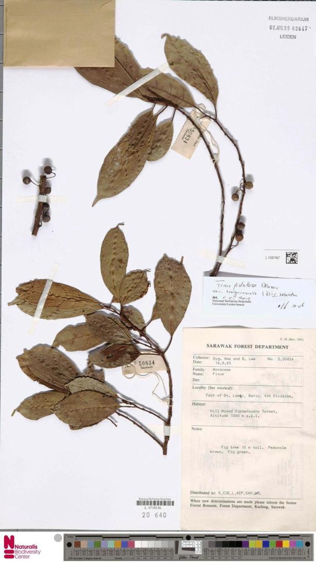 Ficus tengerensis Bario (1996).jpg