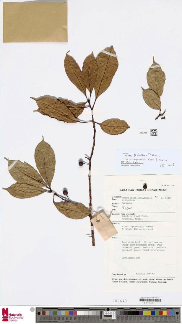 Ficus tengerensis Kubah (1999) e.jpg