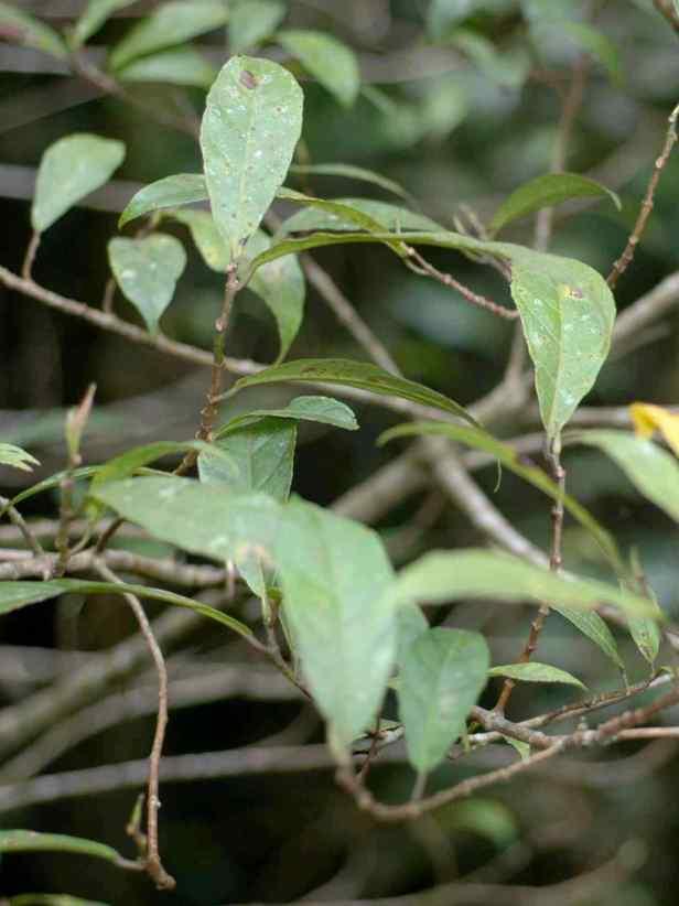 tarennifolia - 14.jpg