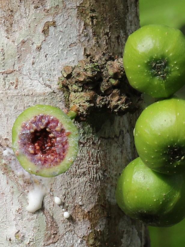 03 Ficus fistulosa 3Y3A0172.JPG