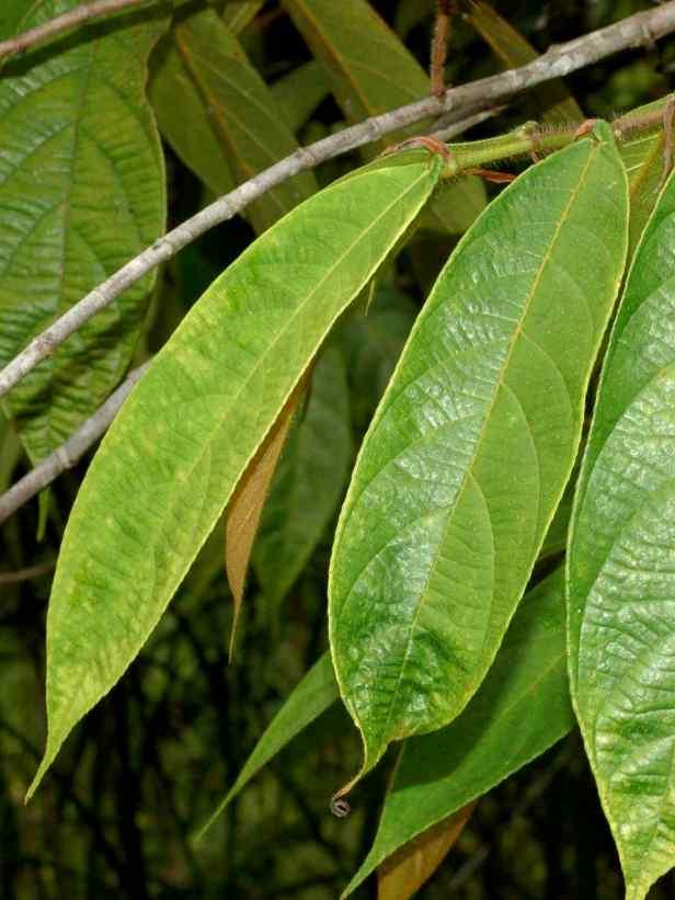 08 Ficus geocharis - 14.jpg