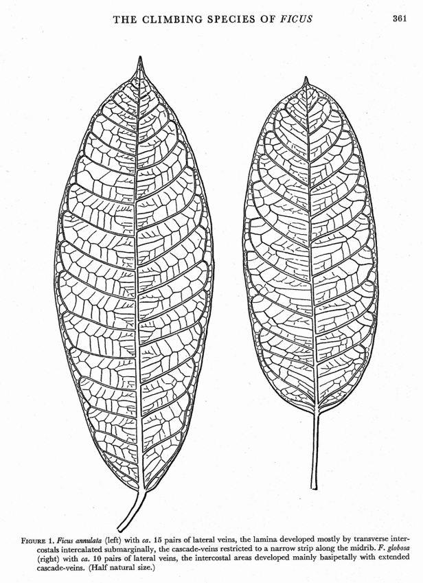 Corner (1978) Ficus globosa Ficus annulata