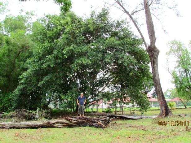 Enhanced Ficus crassiramea IMG_1677 - Copy.JPG