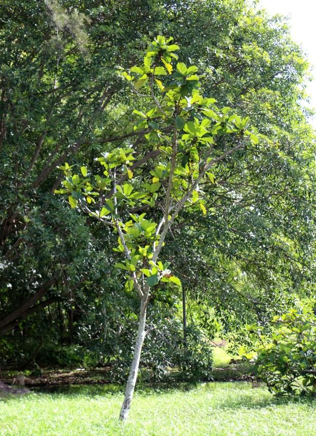 Enhanced Ficus lyrata 3Y3A2780 - Copy.JPG