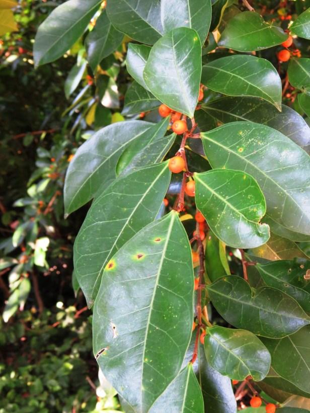 Enhanced Ficus tinctoria gibbosa IMG_1995 - Copy.JPG