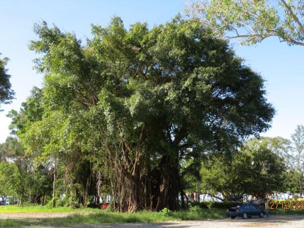 Ficus caulocarpa IMG_2839