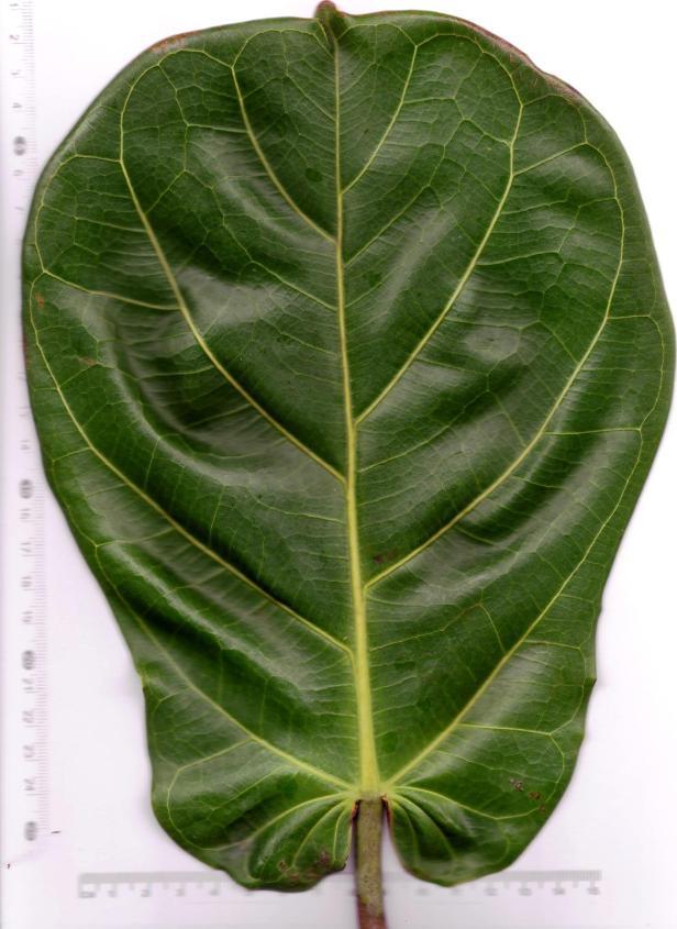 Ficus lyrata upper Tg Aru 03 .jpg