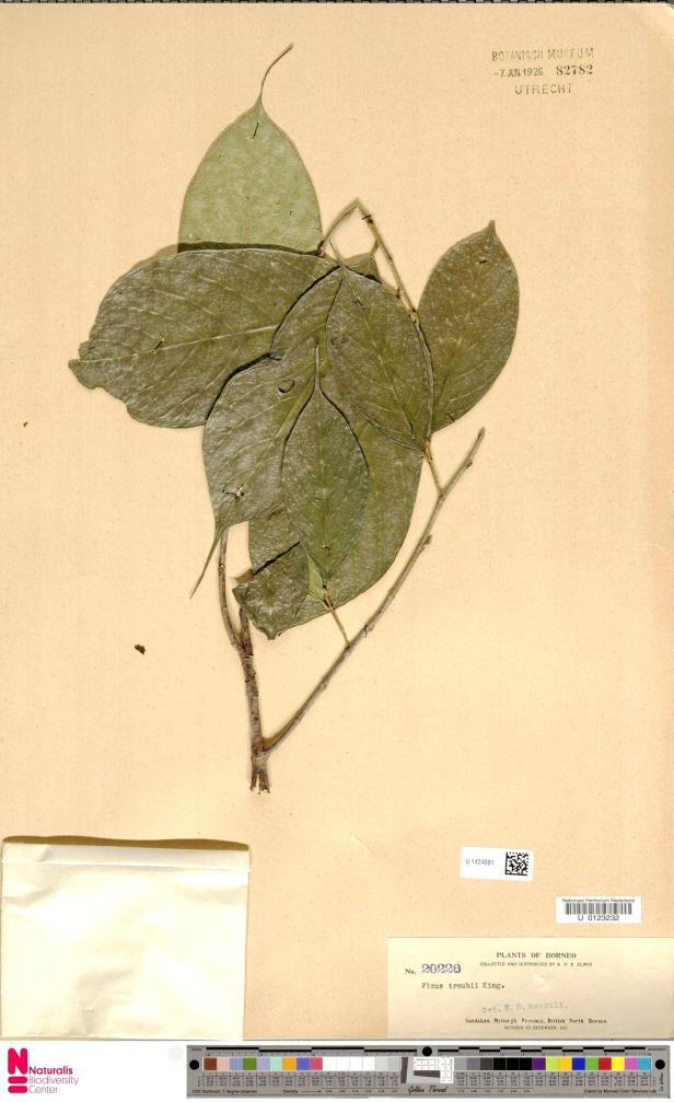 U.1424681 Elmer Sandakan Green .jpg