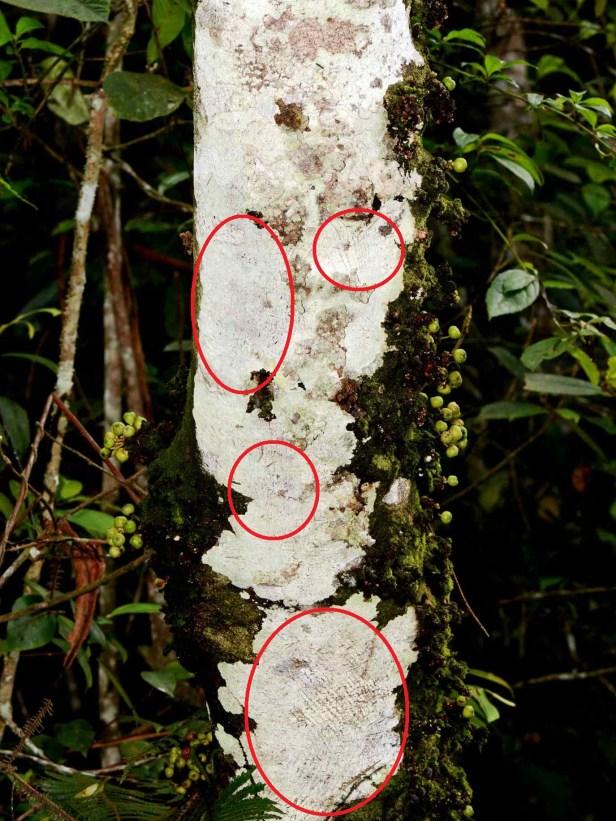 fistulosa var tengerensis - 19 - thick circles.jpg
