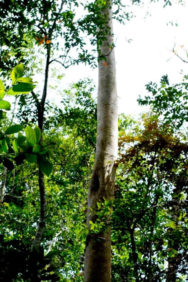 variegata - 3.jpg