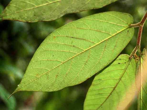 01  040727 Ficus malayana - 02.jpg