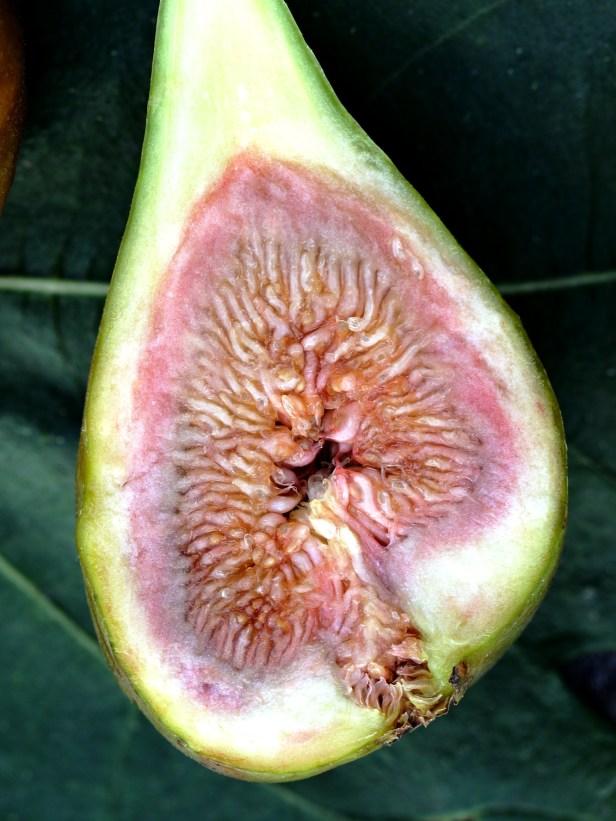 01 Ficus carica 3Y3A6059.JPG