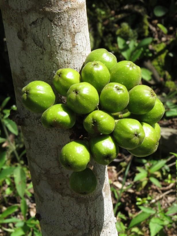 01 Ficus fistulosa IMG_6895.JPG