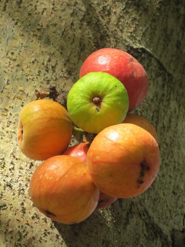 01 Ficus racemosa IMG_3003.JPG
