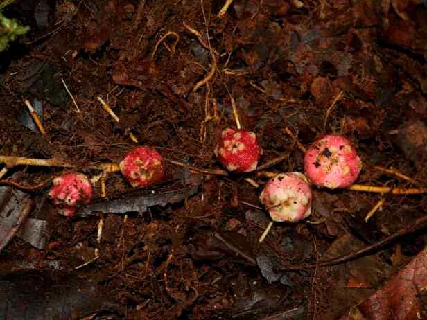 01 Ficus uncinata Borneo Heights - 12.jpg