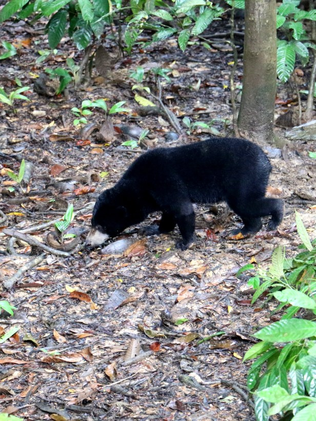 01  Sunbear at Sunbear Centre 3P7A6932.JPG