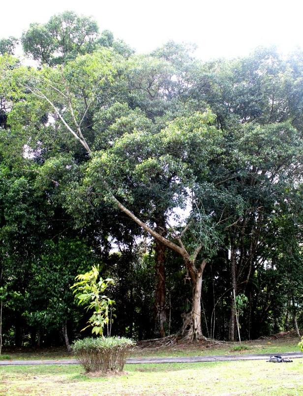 02 Ficus callophylla 0C7A6214.JPG
