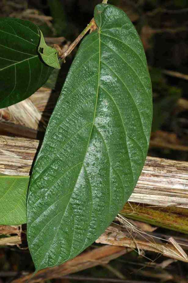 02 Ficus megaleia - 10.jpg