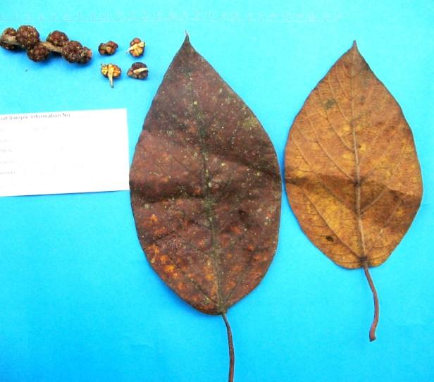 02 Ficus minhassae P3377F.jpg