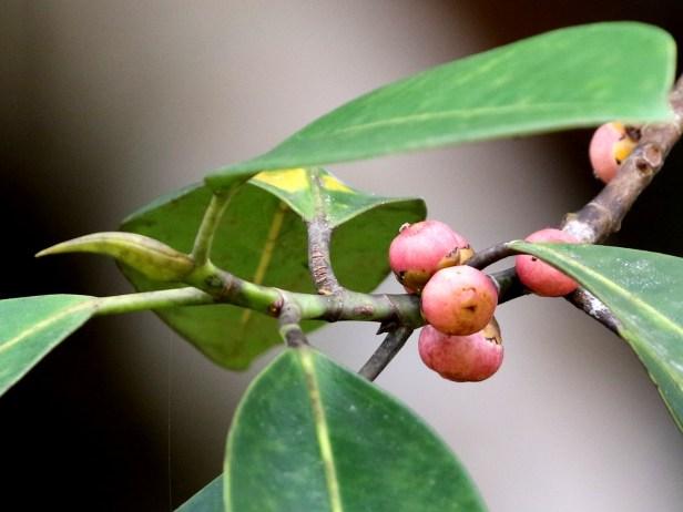 04 Ficus callophylla 0C7A6170 - Copy.JPG