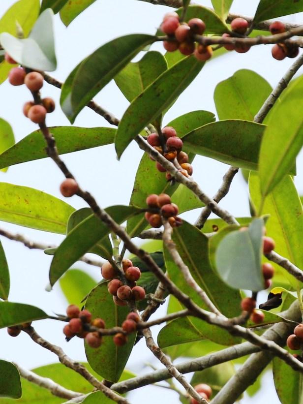 07 Ficus callophylla  0C7A6195.JPG