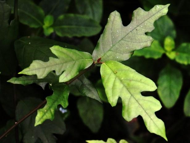 Ficus montana 3P7A1598 - Copy.JPG