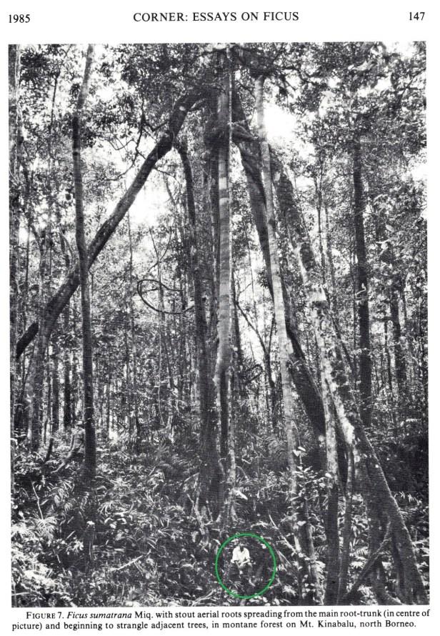 Sumatrana on Kinabalu 02 with circle