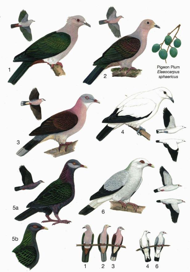 0003 04b Imperial Pigeons Full DPS.jpg