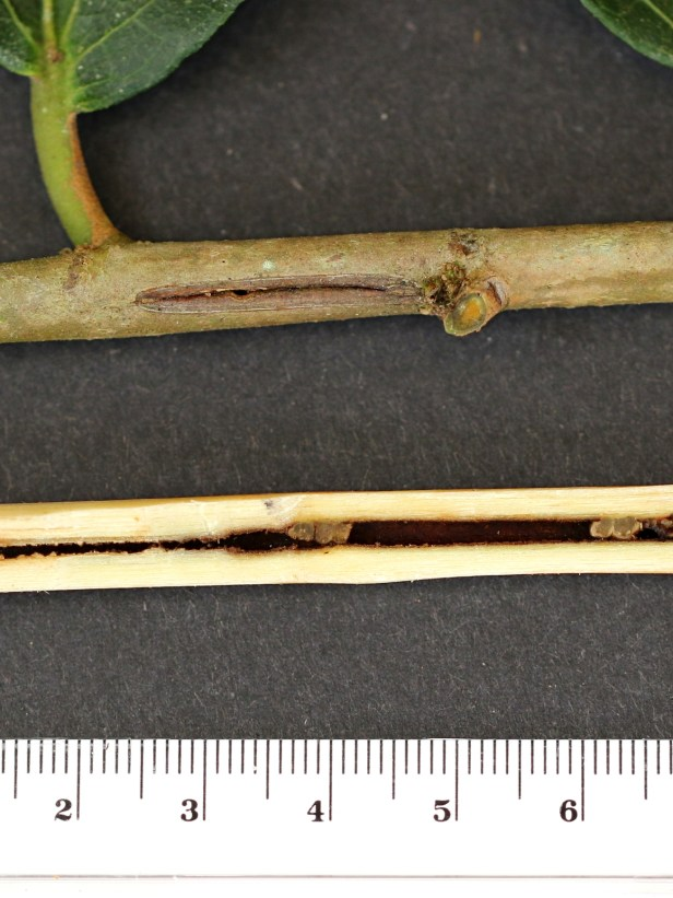 01 Ficus scaberrima 3Y3A0077.JPG
