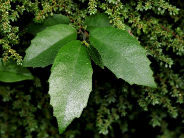 01 Ficus tinctoria var gibbosa 3Y3A0684