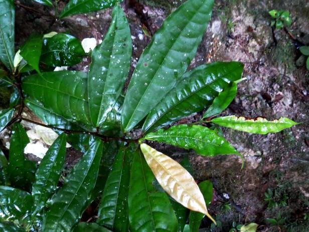 02 Ficus chartacea IMG_4381.JPG