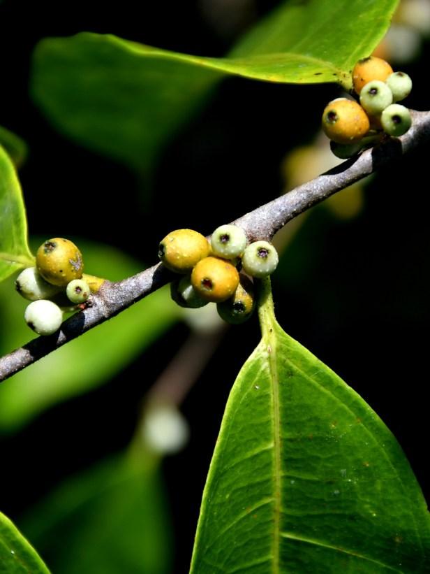 03 Ficus sinuata W Wong 02 .JPG