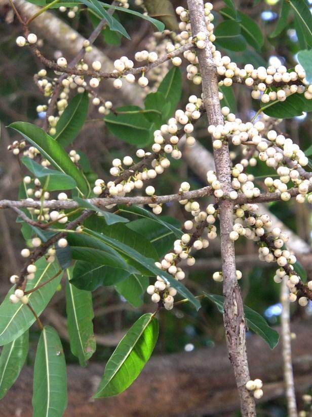 05 Ficus caulocarpa Prince Philip Park Sept. 2013 AP (3).JPG