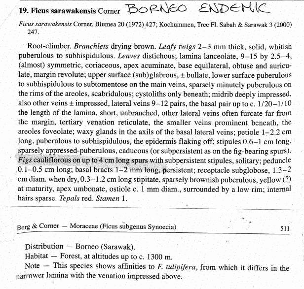Berg (2005) Ficus sarawakensis.jpg