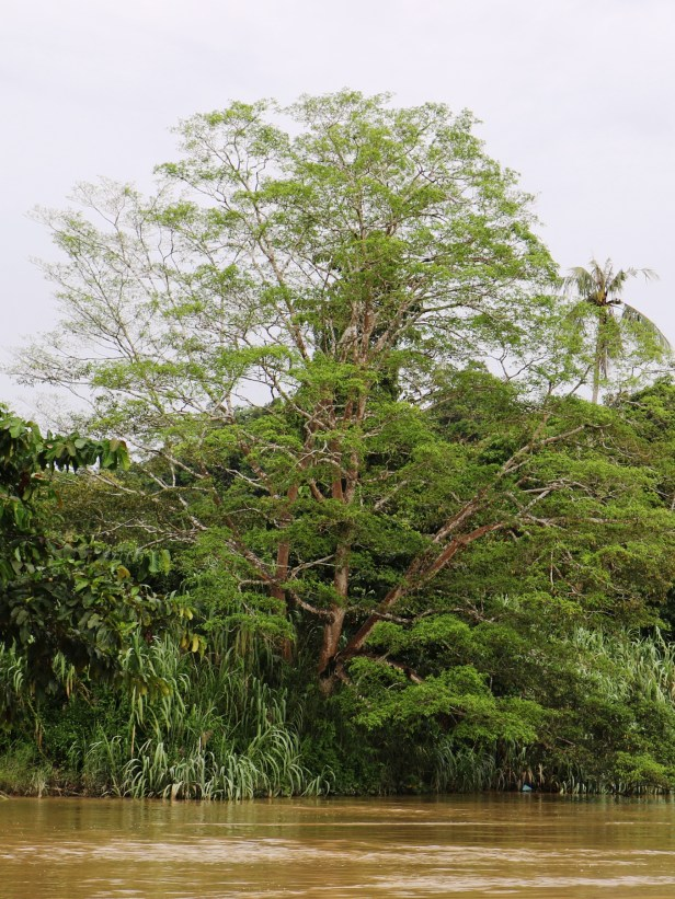 F. racemosa Sukau 3P7A7829.JPG