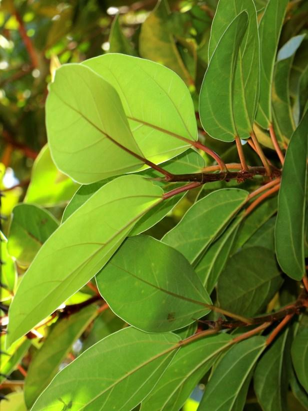 Ficus laevis 03 IMG_3338.JPG