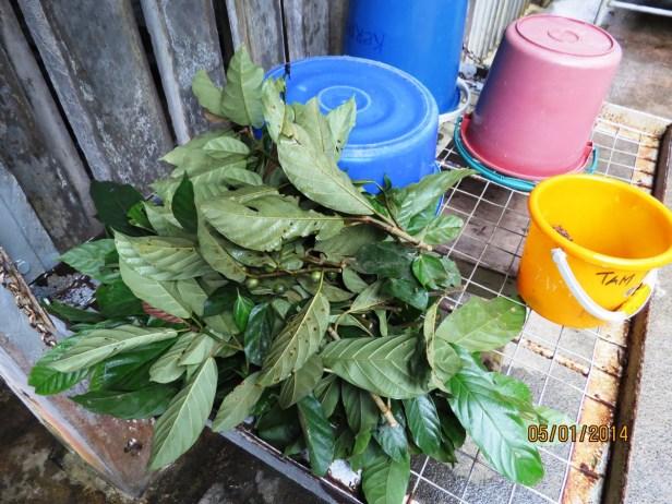 Ficus lepicarpa IMG_8079 - Copy.JPG