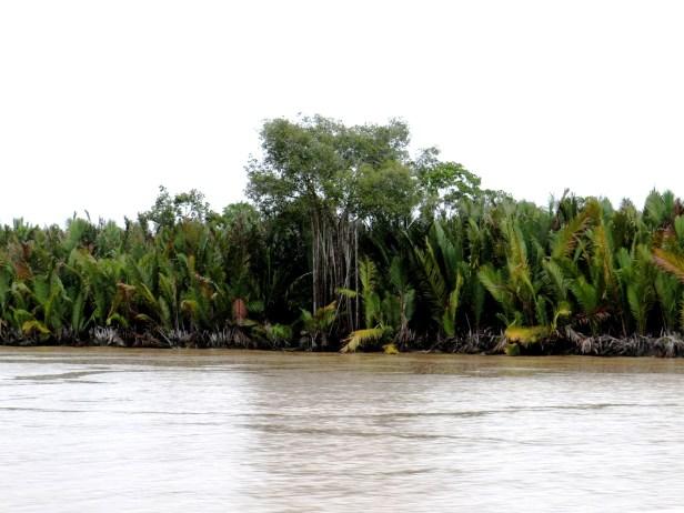 Ficus microcarpa Kuala Abai 3P7A6994 - Copy.JPG