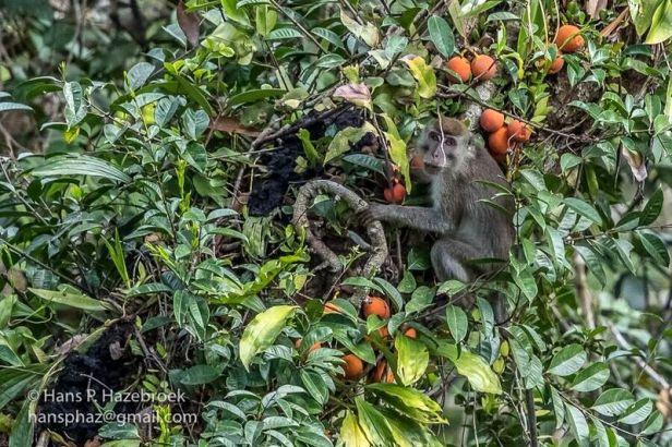 Ficus punctata+macaque.jpg