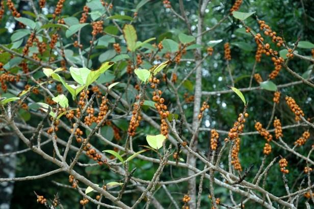 01 Ficus kochummeniana at Permai