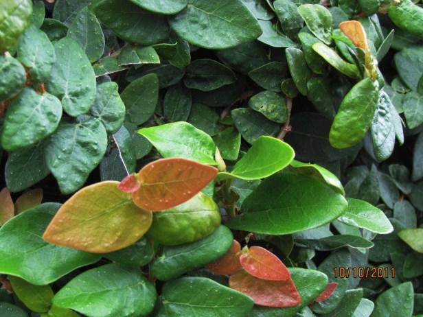 01 Ficus pumila IMG_2130.JPG