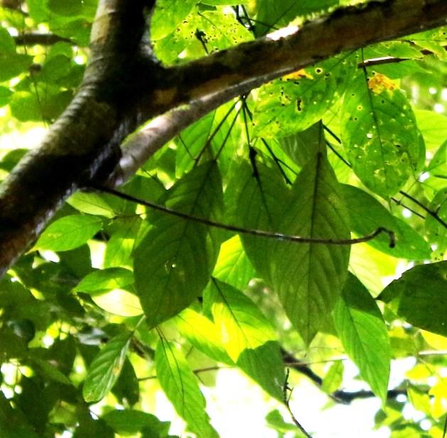 02 Ficus albomaculata 0C7A0051 - Copy.JPG
