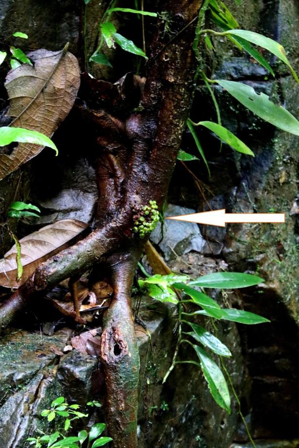 Ficus tarennifolia 0C7A9937 - Copy.JPG