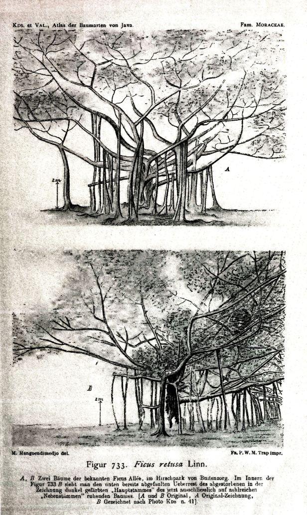 02 Microcarpa called Retusa in AVBJ  (1918)  - Copy.jpg