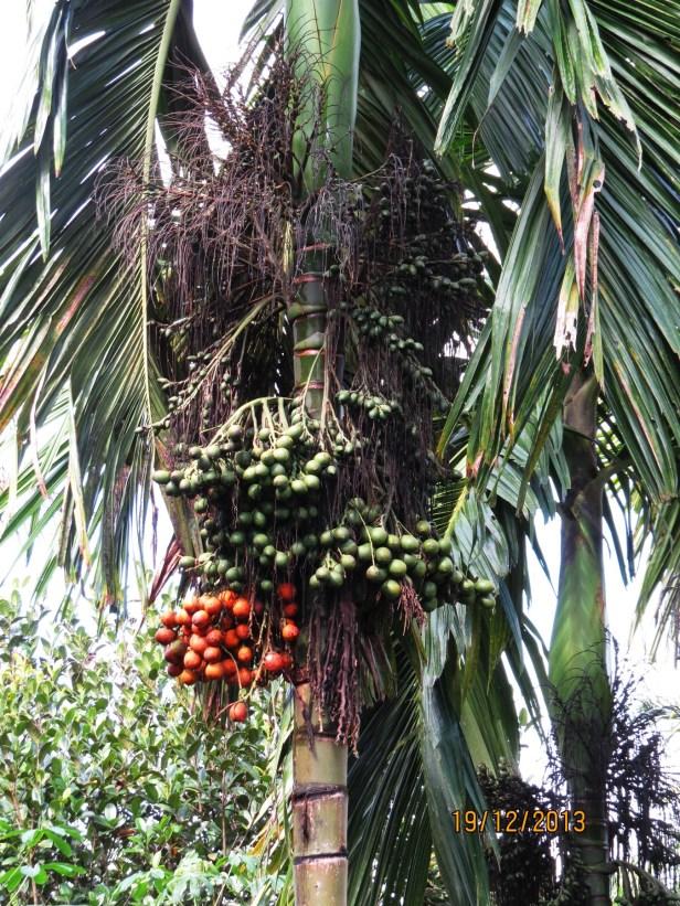 Areca catechu Mulu Pinang Palm 01  .JPG