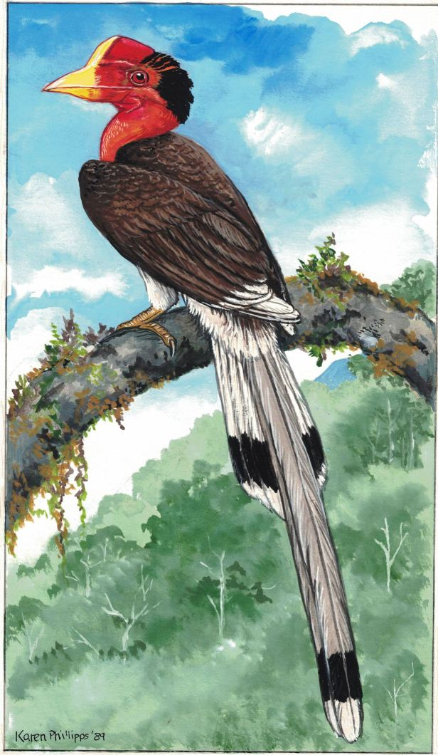 Helmeted Hornbill enhanced